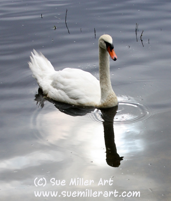 SWAN WITH REFLECTIONS IN WATER