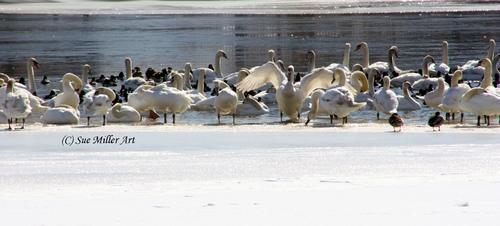 Swan Lake 13