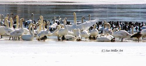 Swan Lake 8