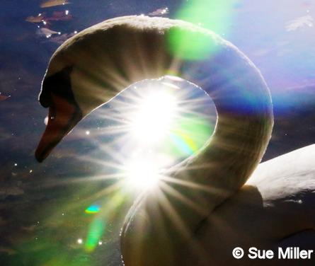 Swan Glow