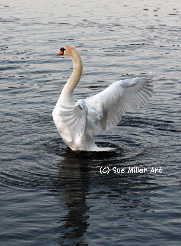 Swan in beautiful wing stretch pose