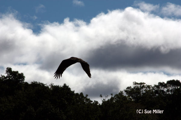 TURKEY VULTURE FLYING BY DURING RESCUE