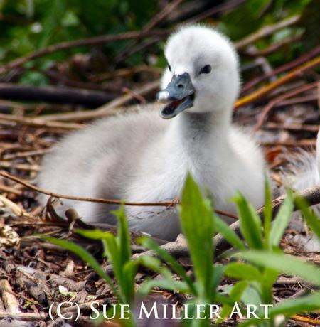 Talking Baby swan