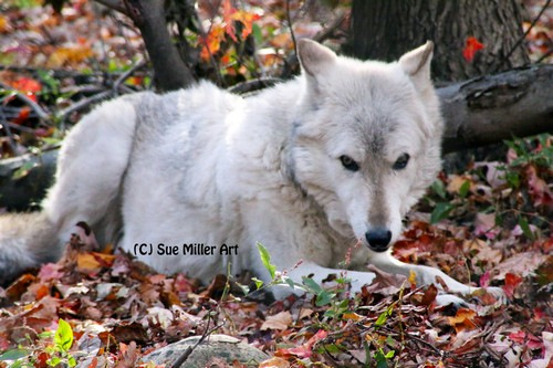 WHITE WOLF TWO