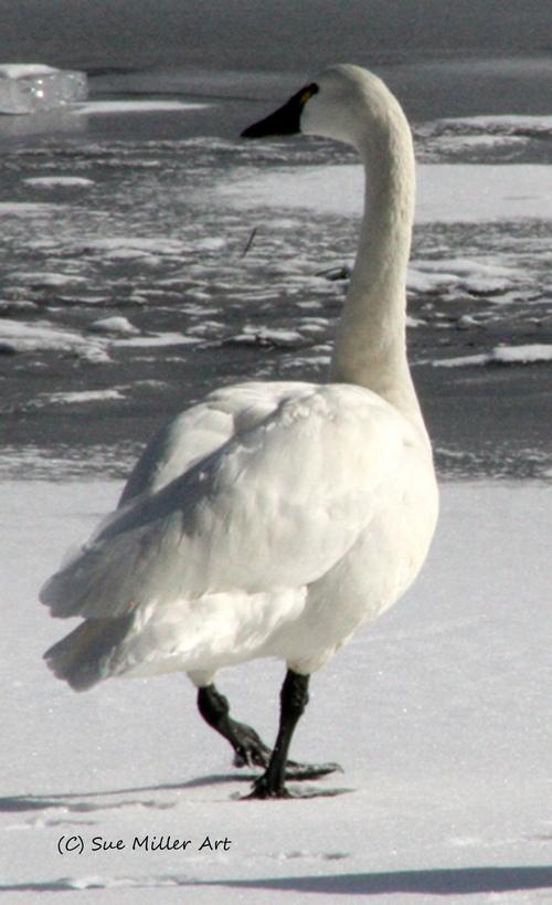 atrumpeter swan solo