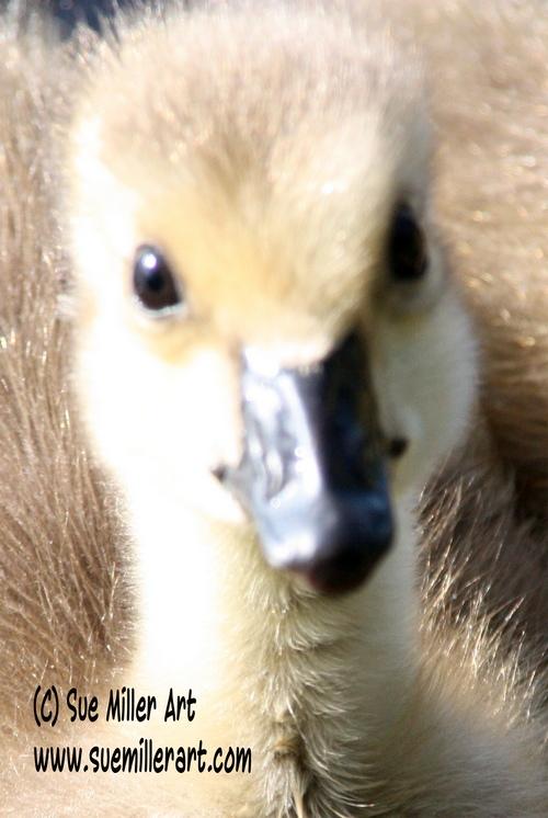 Baby Goose 2